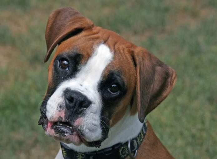 cachorro coronavírus